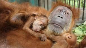 Слепой орангутан с детенышами