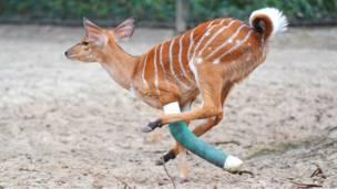 Антилопа с ногой в гипсе бегает в зоопарке Ганновера