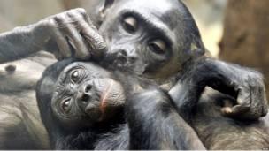 Шимпанзе в германском зоопарке