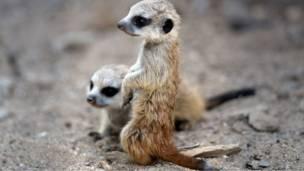 Двое молодых сурикатов в германском зоопарке