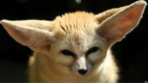 Лисица с большими ушами