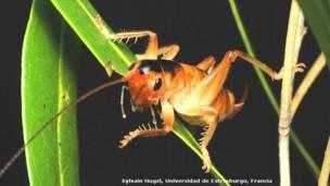 Grillo (Glomeremus orchidophilus)