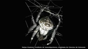 Araña (Caerostris darwini)