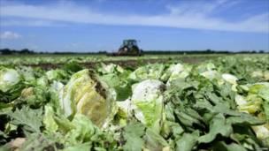 Трактор уничтожает посевы салата близ Гамбурга в Германии