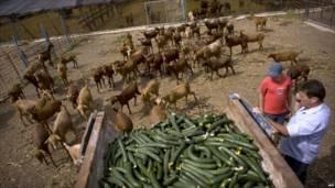 Испанский фермер скармливает огурцы козам