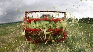 Фермер уничтожает посевы салата в поле под Гановером в Германии