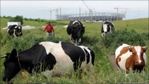 Біля львівського стадіону корови пильнують, аби кінь не валявся.