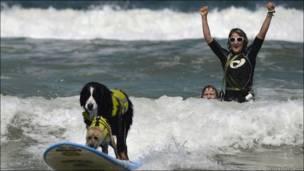 Власники двох собак вже святкують - їхні улюбленці які перемагають у змаганні з серфінгу. Каліфорнія. США