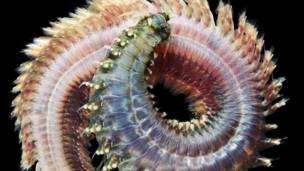 Crédito: Alexander Semenov / White Sea Biological Station