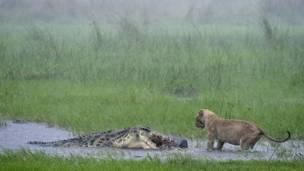 Leão e crocodilo. Foto: GDT International Nature Photography Festival/Sergey Gorshkov
