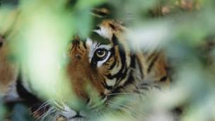 Tigre. Foto: GDT International Nature Photography Festival/Theo Allofs
