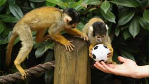 فريق كرة قدم من ... القردة