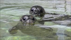 Тюленята в зоопарку