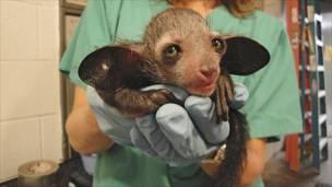 د آی آی حیوان کوچنی بچی. دا یول ډول اوږده لرونکې بیزو ده چې په مدغشقر کې اوسېږي. دا حیوان هم له انقراض سره مخامخ دی.