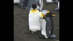 Chim cánh cụt trống mái