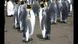 Chim cánh cụt trống có chòm lông vàng bị nhuộm đen