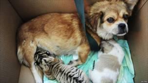 كلبة ترضع صغيري النمر