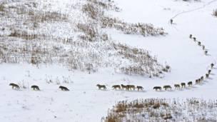 Lobos en el norte de Canadá