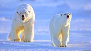 Oso polar macho junto a una hembra