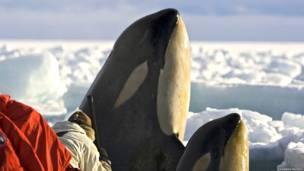 Un camarógrafo de la BBC frente a una orca y su cría