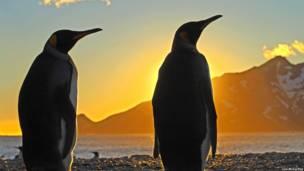Pingüinos rey al amanecer en las Islas Georgias del Sur