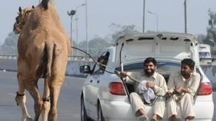 د پاکستان لاهور ښار کې د څارویو د پېر او پلور پر بازار خلک ور تاوده شوي. خلکو یو اوښ د قربانۍ لپاره اخیستی چې تر خپل ځایه یې په دا ډول لېږدوي.