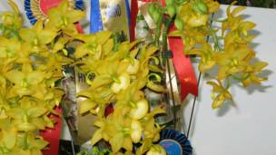 Cycnodes Taiwan Gold.