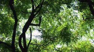 Los árboles que lloran en Buenos Aires.