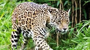puma y jaguar tipo de relacion