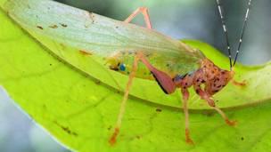 Insecto crayola, llamado así por su cuerpo colorido © Piotr Naskrecki