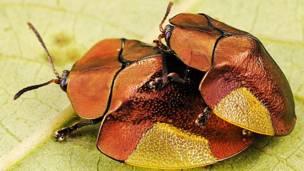 Escarabajos tortuga © Trond Larsen