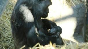 Горилла Асили с детенышем
