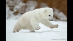 قطبي یږان معمولاً سوکاله او خوشاله ژوند لري.