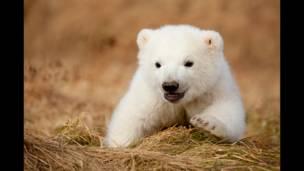 د قطبي یږانو په اړه د نورو انځورونو لپاره: www.polarbearcam.com  www.explore.orgو ګورﺉ.
