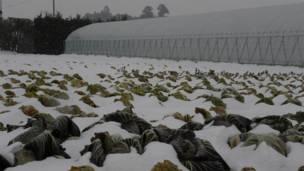 雪地裏的捲心菜