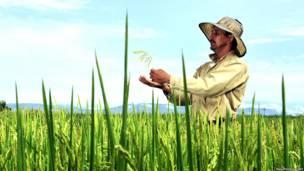 Trabajador del CIAT examina una planta de arroz