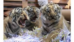 صورة اولى لصغار نمر مهدد بالانقراض ولدت في بالي