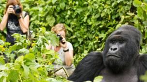 Gorila não se intimida diante das lentes de fotógrafos.
