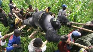 Gorila morto é carregado.