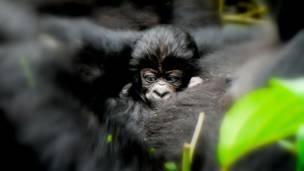 Bebê gorila no colo da mãe.