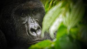 Gorila-de-montanha no parque nacional de Virungo.