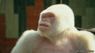 copito de nieve el gorila blanco