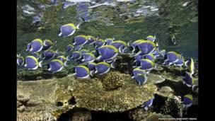 """Acanthurus leucosternon"". Franco Banfi/Barcroft Media"