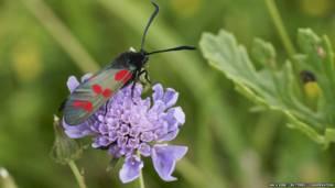 තිත් හයක් සහිත 'බර්නෙට්' සලබයා (Burnet moth)