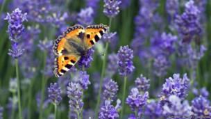Küçük Aglais Kelebeği. Matt Berr/Kelebek Koruma