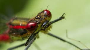 बड़े आकार का लाल रंग का पतंगा/कैट पॉकलिंग्टन