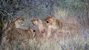 शेरनियों की टक्कर