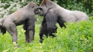七彩缤纷大猩猩英国海滨亮相