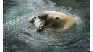 योंगिन एम्यूज़मेंट पार्क, ध्रुवीय भालू