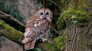 Alaca baykuş, Rough Hill Wood, Warwickshire - Peter Preece